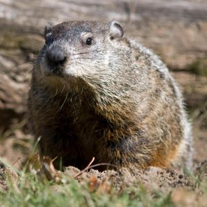 Meet a Groundhog